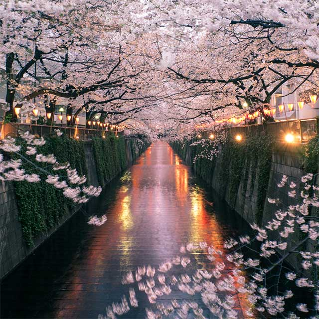 Cherry blossom trees in Tokyo